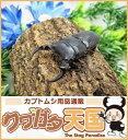 ◆パラレルスネブトクワガタペアオス40mmUP(スマトラ島ベンクール産)野外採取品WD
