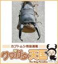 ◆「パラワンオオヒラタクワガタ70mmUP」ペア:ブルックスポイント産 (CB)