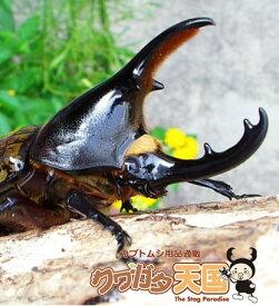 ヘラクレスレイディ幼虫(セントルシア産)累代CB*オスメス判別しておりません。(虫)