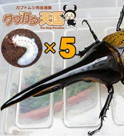 H.ヘラクレス幼虫5頭セット!H.ヘラクレス幼虫(1.2令)5頭オス、メス判別していません 【グアドループCB】(虫)