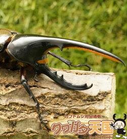 世界最大級カブトムシの王様◆ヘラクレスヘラクレス成虫ペア、オス135mmUP CB※オス×1 メス×1(虫)