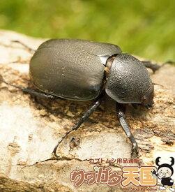 ◆アトラスオオカブト単品B品メス45mmUP(右前ツメ欠,左中ツメ欠,右後足マヒ,左後足マヒ)(スマトラ産WD)(虫)※B品メス×1