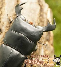 ダイオウヒラタクワガタ:ペア、オス75mmup(アルゴプーロ・野外採取WD)(虫)