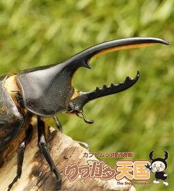 世界最大級カブトムシの王様◆ヘラクレスヘラクレス成虫オス105mmUPペア 累代CB ※オス・メスセット商品(虫)