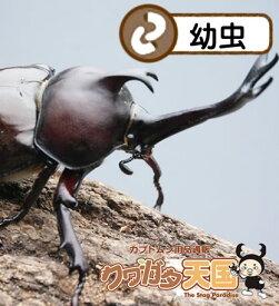 森の王様◆国産カブトムシ幼虫1頭!オス、メス判別していません 【群馬県産 累代:CB】(虫)