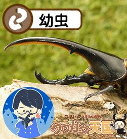 ヘラクレス幼虫累代CB※親虫オス155.7mm・メス73.2mmから産まれた幼虫(グアドループ産)(虫)
