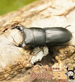 ◆「ムシモンオオクワガタ25mmUPペア」オス25mmUP:イタリア サルディーニャ島産 ペアCB(虫)