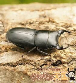 ◆「ムシモンオオクワガタ30mmUPペア」オス30mmUP:イタリア サルディーニャ島産 ペアCB(虫)