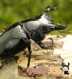 タランドゥスオオツヤクワガタ◆「タランドゥスペアオス60mmUP」コンゴ産(CB)(虫)