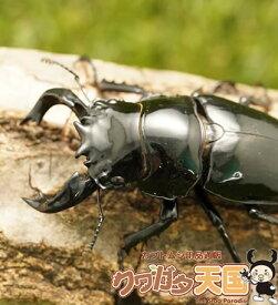 タランドゥスオオツヤクワガタ◆「タランドゥスペアオス66mm」コンゴ産(CB)(虫)