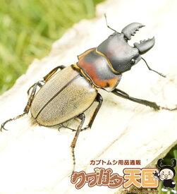 ゾンメルツヤクワガタペアオス45mmUP(ベンクール産)オス短歯 累代WD※野外採取品(虫)