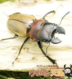 ゾンメルツヤクワガタペアオス短歯50mmUP(ベンクール産)累代WD※オス×1・メス×1(虫)