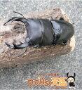 ◆「国産オオクワガタ幼虫 岡山県津山産:1頭」 ※オス、メス判別していません*超おススメ商品!!