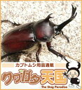 森の王様!国産カブトムシ成虫ペア・サイズフリー(累代WD)