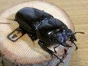 国産オオクワガタ ♀52mmメス単品 今年羽化 新成虫 くわがた 昆虫