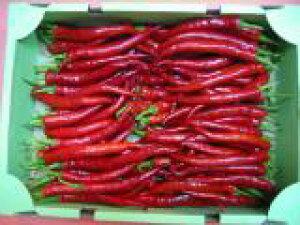 京都中央卸売市場中西青果仲卸直送だから新鮮!京野菜 赤伏見甘長とうがらし(1kg)無選別曲りなど 赤ふしみあまながとうがらし、赤伏見唐辛子、赤伏見とうがらし