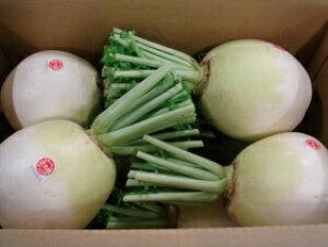 京都直送お徳用訳あり京野菜どうしても食べたい聖護院大根淀大根B品2L1個(1.5kg以上)仲卸業者一番のおすすめ品生産者限定商品 B品味は同じで変形、キズ、割れがあるだけでお得