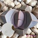 多肉植物 リトープス メセン  魔玉 種子10粒 Lapidaria margaretae 種子のまき方の説明書付き