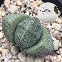 多肉植物 帝玉 種子10粒 Pleiospilos nelii  種子の蒔き方の説明書付き