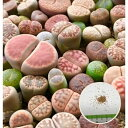 多肉植物 リトープスmix栽培セット 種30粒 大人気♪ 初めてでも安心 カラー画像入りの種まき方法の説明書と年間を…