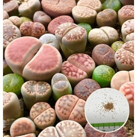 多肉植物 リトープスmix栽培セット 種10粒 大人気♪ 初めてでも安心 カラー画像入りの種まき方法の説明書と年間を通した管理方法、育てるのに必要なものが揃ってます