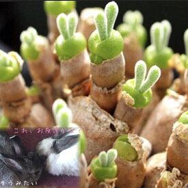 多肉植物 うさぎの耳栽培セット 種10粒付 モニラリア 大人気♪  毎年たくさんの栽培実績のある当店が提供するカラー画像入りの種子の蒔き方と育て方のコツを散りばめた管理方法付き