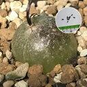 球根植物 Schizobasis intricata シゾバシス イントリカータ 種子10粒 透明感が素敵です