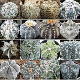 多肉植物 アストロフィツム ミックス種子 10粒 基本的な種子の蒔き方の説明書つきAstrophytum mix