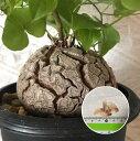 塊根植物 亀甲竜 種子 Dioscorea elephantipes 種子のまき方の説明書付き