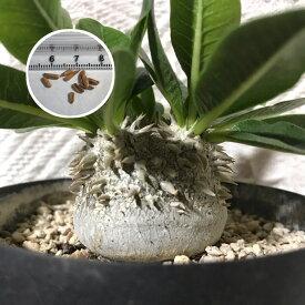 塊根植物 パキポディウム PACHYPODIUM brevicaule 恵比寿笑い 種子5粒種子のまき方の説明書付き