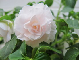 八重咲きインパチェンス シルエット アップルブロッサム
