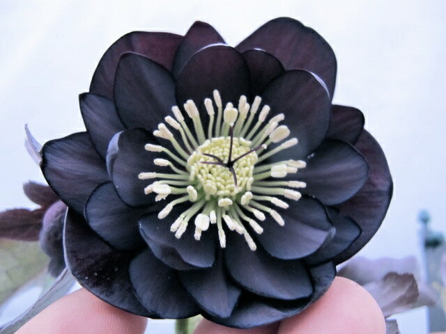 クリスマスローズ アシュウッド ブラック系 dd ×スウィング ブラック セミダブル一年生苗