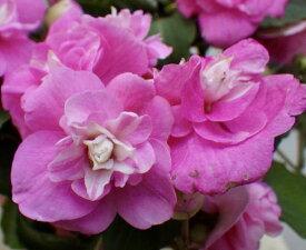 八重咲きインパチェンス ムシカ バイカラーピンク