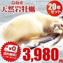 牡蠣カキ天然岩牡蠣(活)250〜300g前後鳥取産朝採れ刺身用20個以上購入で送料無料!
