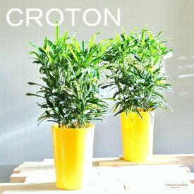 【 観葉植物 】【SALE】 黄色シンプル鉢の ラセンクロトン 5号size 敬老の日 ポイント消化 観葉植物