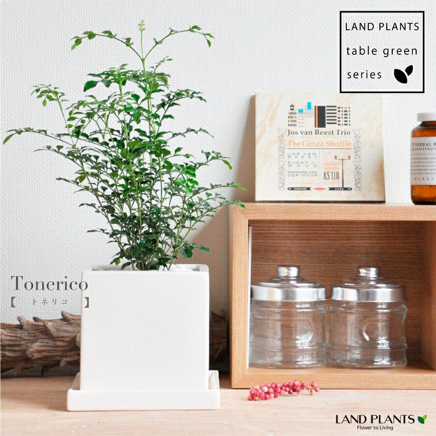 シマトネリコ 白色 キューブ陶器 Sサイズ ホワイト・四角・陶器鉢・鉢植え・バルコニスト・観葉植物