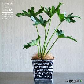 NEW!! セローム × Thank you 柄の鉢カバーセット 敬老の日 ポイント消化 観葉植物