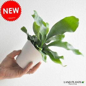 【 観葉植物 】【 珍しい 】オブジェのような植物! コウモリラン 敬老の日 ポイント消化 観葉植物