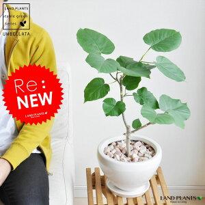 ウンベラータ 白色 シェイプ ラウンド 陶器鉢 ハートリーフ フィカス ゴムの木 ウランベータ ウンダベータ 鉢植え 鉢 丸鉢 白 ホワイト 丸 観葉植物 送料無料