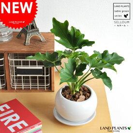 【 観葉植物 】【SALE】 セローム 白色丸型陶器に植えた table green series new!! 敬老の日 ポイント消化 観葉植物