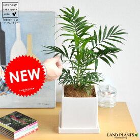 テーブルヤシ 白色 キューブ型 陶器鉢(ココヤシファイバー) ヤシ アレカヤシ 敬老の日 ポイント消化 観葉植物