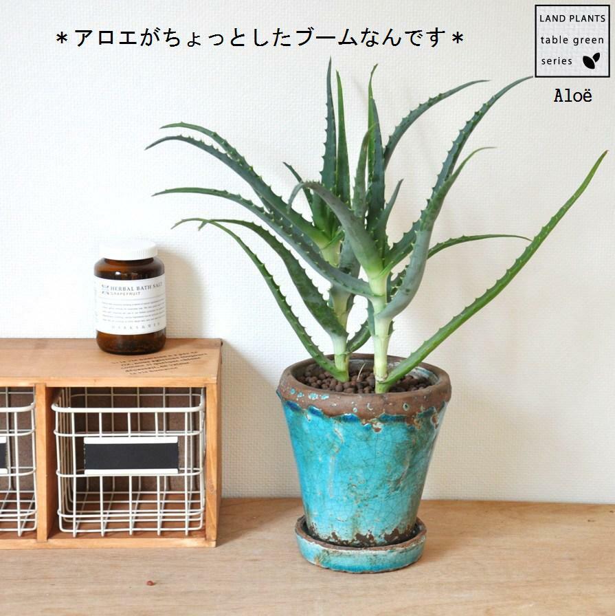 ビンテージ鉢に植えた アロエ オシャレな鉢で育てよう! キダチアロエ 敬老の日 ポイント消化 観葉植物