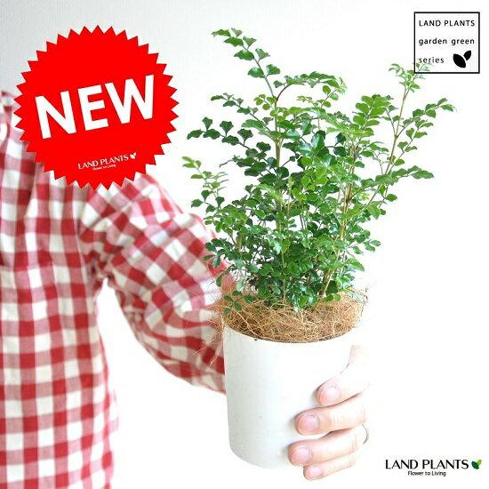 【お試し】 シマトネリコ 3号サイズ トネリコ苗木 苗 バルコニスト 敬老の日 ポイント消化 観葉植物