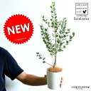 【お試しサイズ】 NEW!! ハートユーカリ(ウェブステリアナ) 白色プラスチック鉢セット 4号サイズ・ウェブストリ…