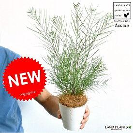 【希少】 NEW!! アカシア フロリバンダ 4号サイズ 黄色の花をつける・ハナアカシア・鉢植え・鉢・苗・苗木 テーブルミモザ・オーストラリアプランツ・アカシアの木