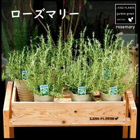 【 ハーブ苗 】 ローズマリー 4号 白色プラスチック鉢 鉢苗 マンネンロウ