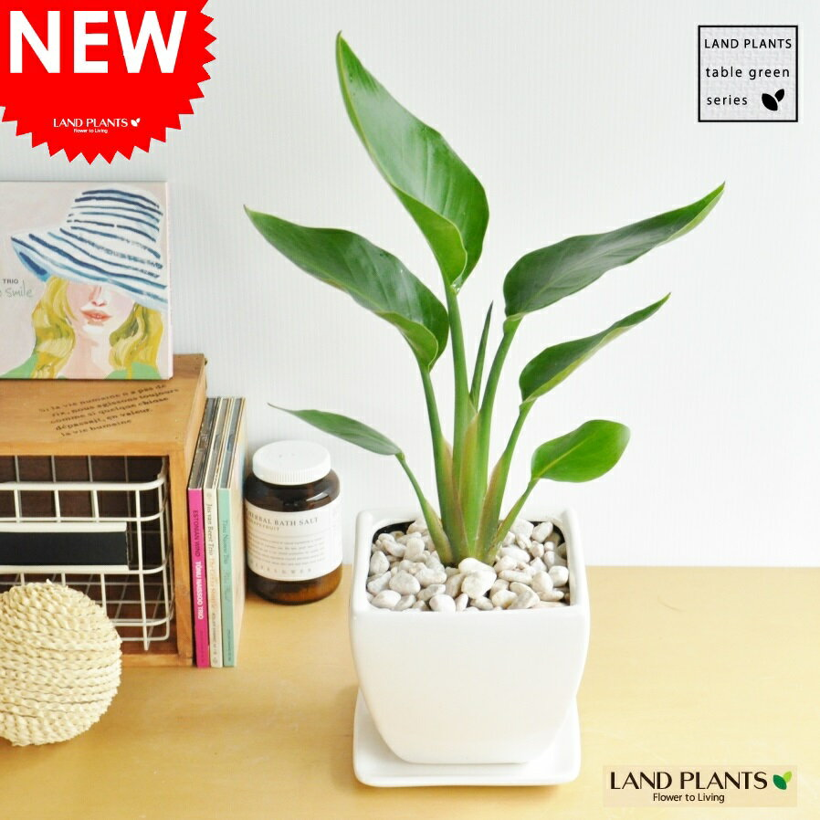 オーガスタ 質感の良い白色 台形 陶器鉢の ストレリチア・ニコライ ストレチア 天国の白い鳥 敬老の日 ポイント消化 観葉植物
