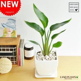 オーガスタ どっしりした (白色)台形 陶器鉢 ストレリチア・ニコライ ストレチア 天国の白い鳥 敬老の日 ポイント消化 観葉植物