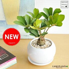 New!! ザミア 白色丸型陶器鉢に植えた ヒロハザミア・メキシコソテツ 敬老の日 ポイント消化 観葉植物