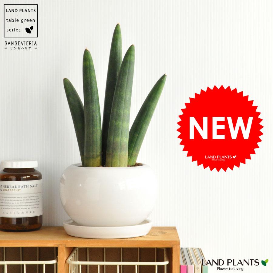 New!! サンスベリア・スタッキー 白色丸型陶器鉢に植えた コンパクトサイズのスタッキー ウェーブ サンスウェーブ シリンドリカ 敬老の日 ポイント消化 観葉植物